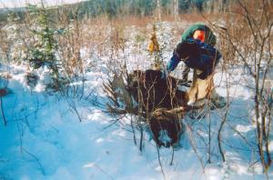 Here is a great picture to show the locations and weather a moose is hunted in. The hunters are now examining the animal and wil
