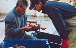 Once the lobster traps are pulled out of the water, the lobsters are taken out of the trap and elastic bands are placed on their