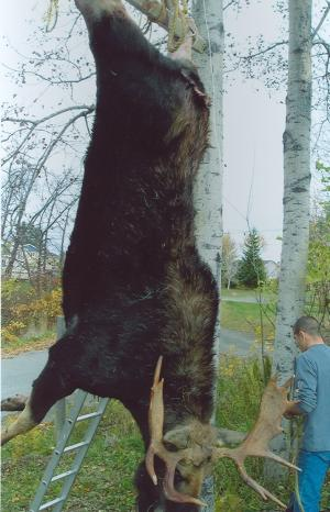 After you shoot a moose, it is best to hang it up for a few days. This will drain the blood from its body.