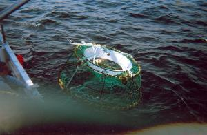 This crab trap is being set in the water and you can see the bait bag in the trap, this is what the crab go for but when they re