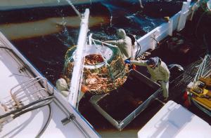 Ils tirent sur les cages pleines de crabe et nous les plaçons dans une poubelle pour les ranger par taille.
