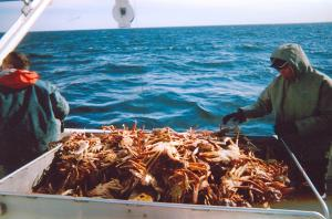 Look at all the snow crab in the crate; they average approximately 1000+ pounds per trip depending on the size of the boat.