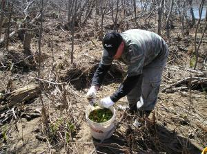 It's fiddlehead season and this young man is out collecting them around water banks.