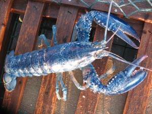 A protein and a special red molecule combine to form a blue complex known as crustacyanin. This gives the lobster its blue color
