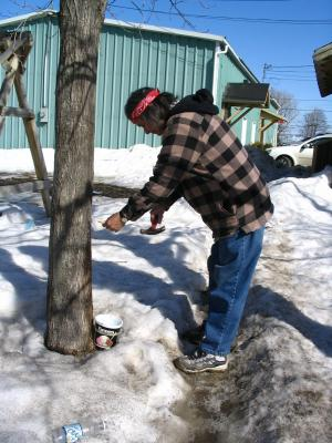 Here is a Listuguj elder tapping the spout into the maple tree. The sap starts to run during the spring.
