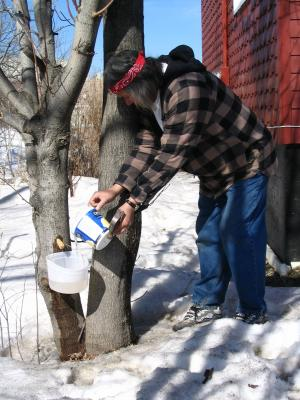 The bucket is now full and he is placing the sap into a larger bucket.