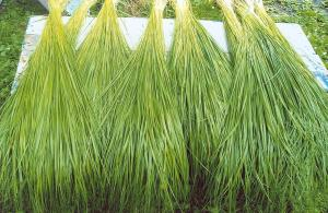 Sweet grass is plentiful within the territory of Gesgapegiag.
