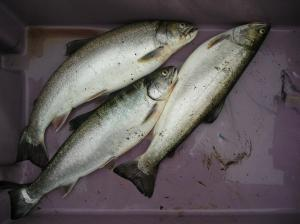 These 3 large trout are just a few of what you may catch with a rod. A family member will surely appreciate them.