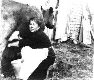 Here is an older picture of a cow being milked by a Mi'gmaq woman.