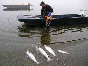 Once the fish have been caught they are laid to rest in the water while the boat is brought into shore.