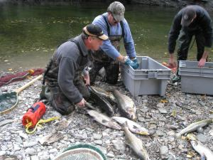 These men are tagging salmon and placing them in crates.