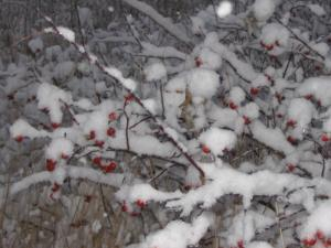 The Earth has many forms of nutural beauty just like this picture of snow lightly covering either choke cheeries or berries on b